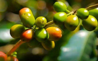 Jimma Coffee