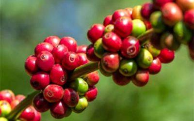 Yirgacheffe Coffee
